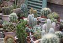 Trendiga kaktusar