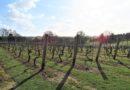 Chapel Down – vacker vingård i syd-östra England