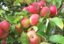 Enklaste äppelmoset