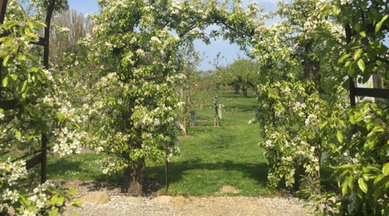 Kiviks Musteri öppnar sina blommande äppelträdgårdar